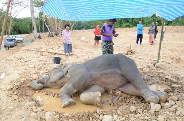 พบช้างป่าล้มป่วยสภาพอิดโรยข้างบ่อน้ำในตำบลห้วยสัตว์ใหญ่ อำเภอหัวหิน