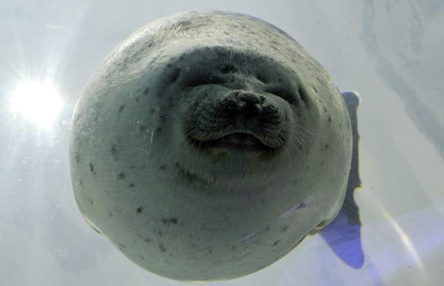 แมวน้ำตัวหนึ่งกำลังว่ายน้ำในตู้กระจกของพิพิธภัณฑ์สัตว์น้ำโอซากาหรือไคยูคัง (24 มิ.ย.)