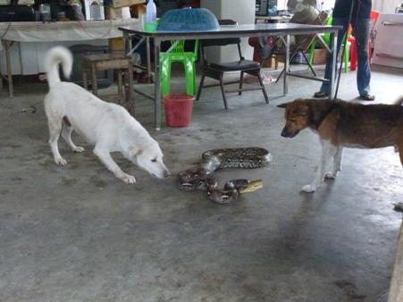 """สุดยอด! """"เจ้าบิ๊ก-มอมแมม"""" หมาแสนรู้ ช่วยกู้ภัยจับงูเหลือมกินแมวคาบ้านสำเร็จ(ชมคลิป)"""