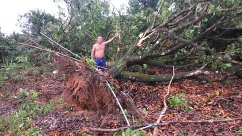 ต้นไม้ของชาวสวน ก็ล้มหลายต้นเช่นกัน