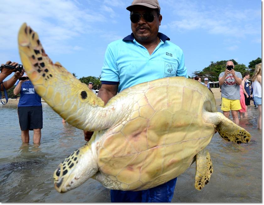 ชายชาวอินโดนีเซียกำลังปล่อยเต่าสีเขียวขนาดยักษ์กลับคืนสู่ธรรมชาติที่หาดซานูร์(Sanur) บนเกาะบาหลีในวันที่ 9 กรกฎาคม หนึ่งวันหลังจากตำรวจอิเหนาสามารถยึดเต่าสีเขียว สัตว์ใกล้สูญพันธุ์ถึง 37 ตัวได้จากเรือลักลอบค้าสัตว์ป่าบริเวณช่องแคบบาดุง (Badung )(ภาพเอเอฟพี)