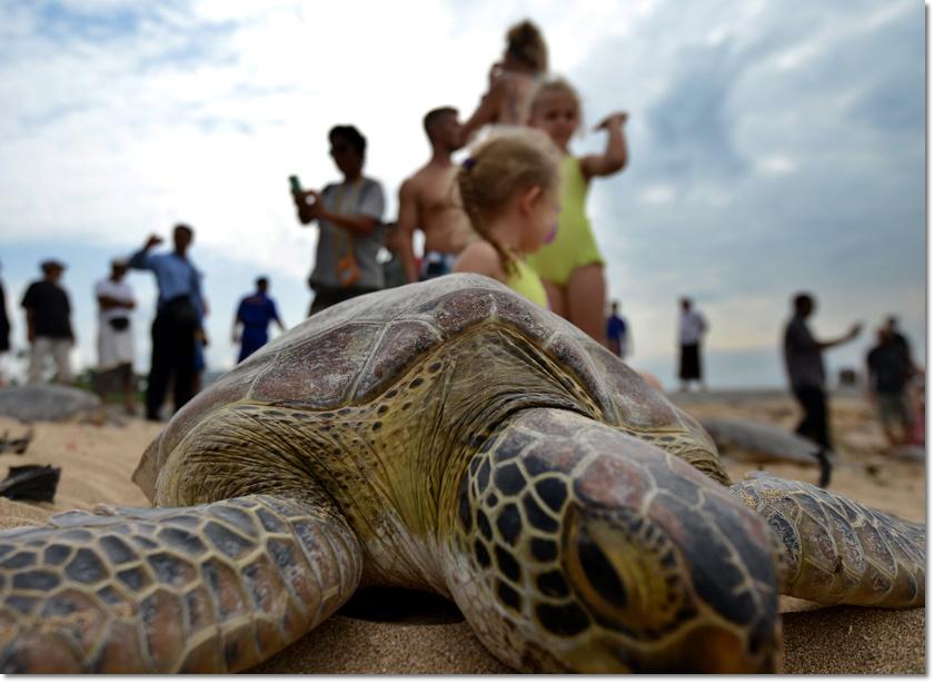 เต่าสีเขียวขนาดยักษ์กลับคืนสู่ธรรมชาติที่หาดซานูร์(Sanur) บนเกาะบาหลีในวันที่ 9 กรกฎาคม หนึ่งวันหลังจากตำรวจอิเหนาสามารถยึดเต่าสีเขียว สัตว์ใกล้สูญพันธุ์ถึง 37 ตัวได้จากเรือลักลอบค้าสัตว์ป่าบริเวณช่องแคบบาดุง (Badung )(ภาพเอเอฟพี)