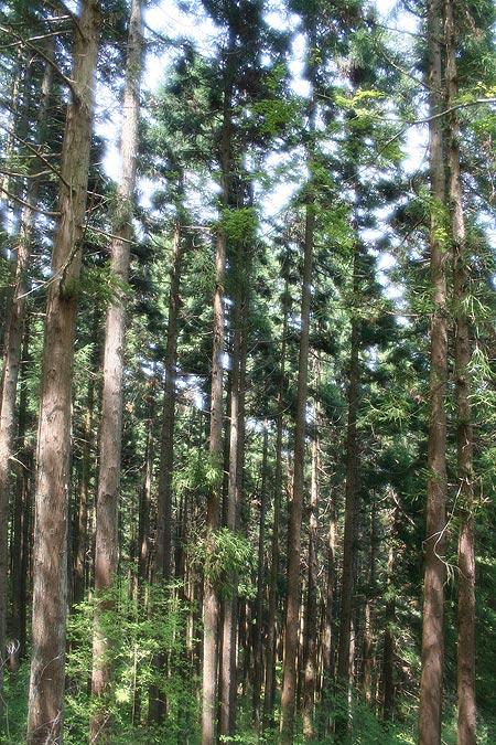 ป่าสนซีดาร์ยืนต้นถี่บนเขามิตะเกะ