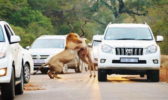 In Pics : ผู้ขับขี่ตะลึง!สิงโต2ตัวเปิดฉากล่าฆ่าละมั่งกลางถนน