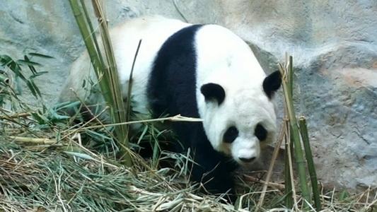 """แม่หมีแพนด้า """"หลินฮุ่ย"""" แสดงพฤติกรรมหักไผ่ทำรัง-กินเยอะดูคล้ายตั้งท้อง(ชมคลิป)"""