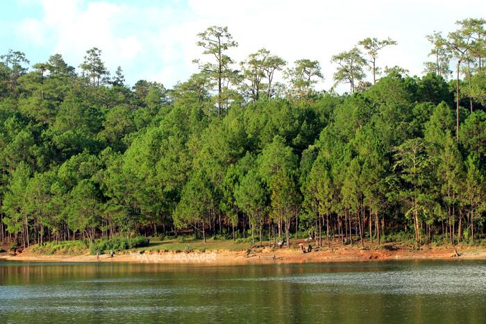 ป่าสนวัดจันทร์ป่าสนธรรมชาติขนาดใหญ่ที่สุดในเอเชียตะวันออกเฉียงใต้