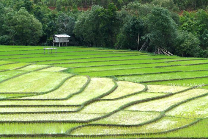 หลังแล้วมานาน เมื่อฝนมาก็ได้เวลาหว่านไถปลูกข้าว โดยชาวปกาเกอะญอบ้านห้วยฮ่อมส่วนใหญ่จะทำนาแบบปลอดสาร