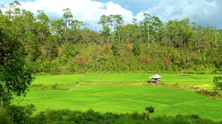 ทุ่งนา-ป่าสน ภาพอันทรงเสน่ห์ของ อ.กัลยาณิวัฒนา ในช่วงฤดูฝน