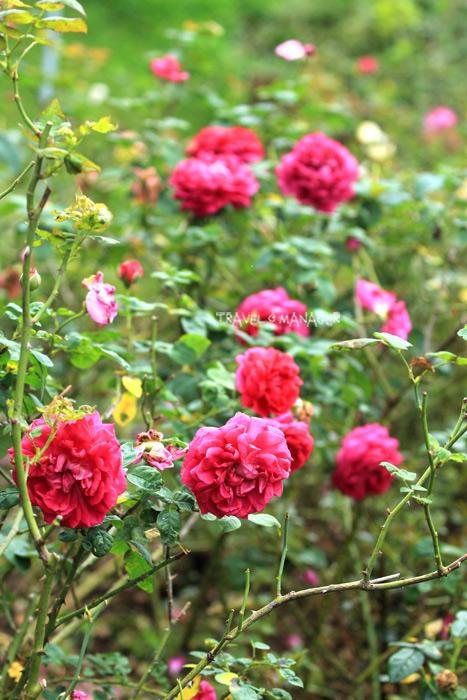 กุหลาบออกดอกเบ่งบานในสวนกุหลาบอังกฤษ