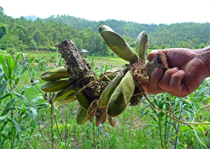 รูปร่างของกล้วยไม้เมตอซู เป็นกระเปาะ ไม่มีดอก