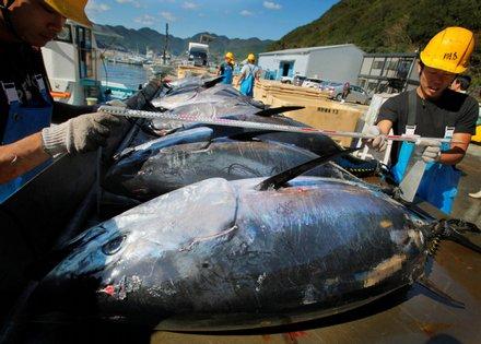 """ชาวประมงช้ำ! ไต้ฝุ่นนังกาถล่มญี่ปุ่นทำ """"ทูนาครีบน้ำเงิน"""" ตายเกลื่อน 11,000 ตัว-เสียหาย 1,200 ล้านเยน"""