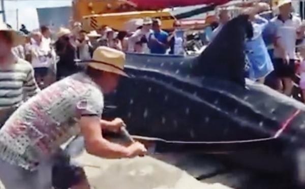 โหดเหี้ยมผิดมนุษย์! เลื่อยฉลามวาฬเป็นๆ อ้าปากหายใจรวยรินด้วยความเจ็บปวด (ชมคลิป)