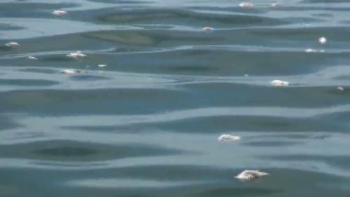 ปรากฏการณ์น้ำเปลี่ยนสีที่บางแสนส่งผลกระทบถึงผู้เลี้ยงหอย
