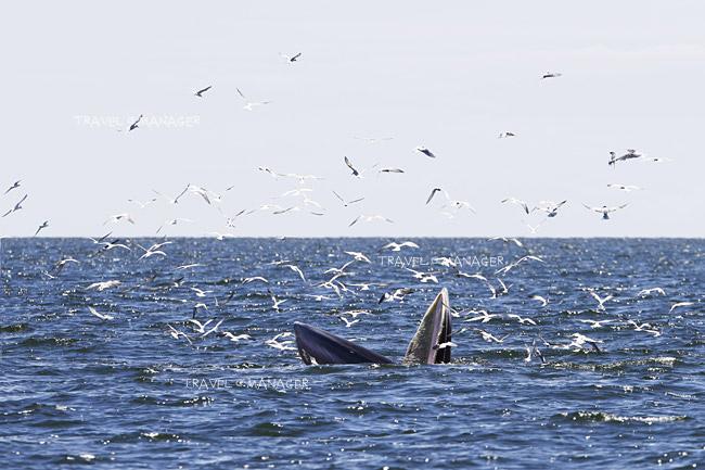 วาฬบรูด้า ได้รับการเสนอให้เป็นสัตว์สงวนลำดับที่ 16