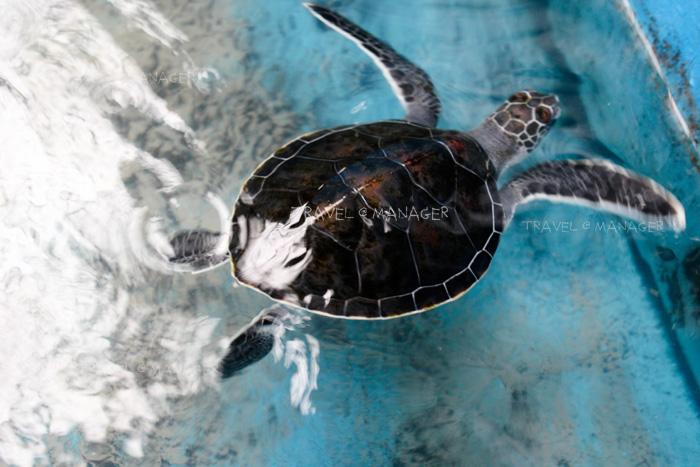 """เต่าทะเลที่ถูกเลี้ยงไว้ใน """"ศูนย์วิจัยพัฒนาประมงชายฝั่งพังงา"""""""