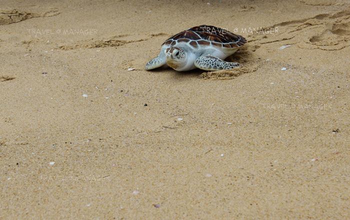 เต่าทะเลถูกปล่อยลงสู่ท้องทะเลต่อไป