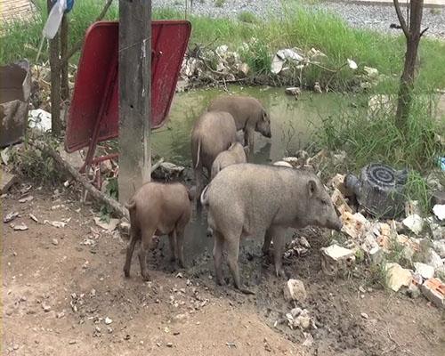 วอนผู้ใจบุญช่วยลูกหมูป่า 15 ตัวกำพร้าแม่ ขาดแคลนอาหาร