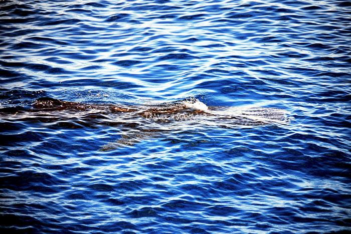 ฉลามวาฬมักจะมาปราฏตัวให้ยลโฉมกันบ่อยครั้งในท้องทะเลชุมพร