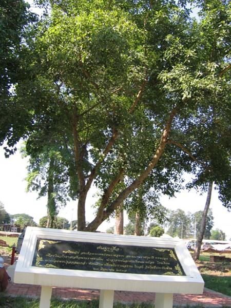 ต้นมะเดื่อที่สมเด็จพระเทพฯทรงปลูกที่วัดโพธิ์ประทับช้าง