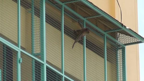 น่าสงสาร! พบลิงน้อยหิวโซปีนตึก-สายไฟริมเจ้าพระยา จนท.ไล่จับนานเป็นชั่วโมง