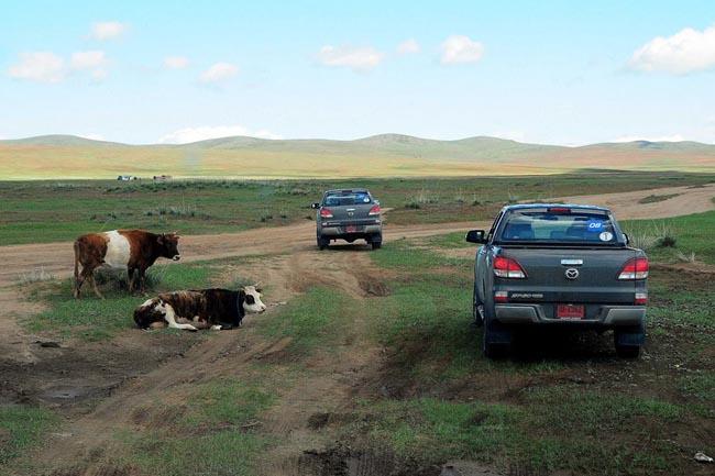 วัว  เราจะเห็นตลอดการเดินทาง