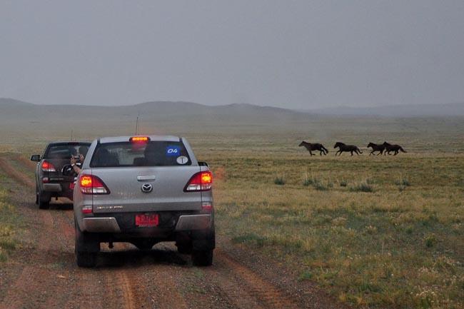 ม้า วิ่งตัดหน้ารถด้วย ต้องเบรกให้เข้าไปก่อน