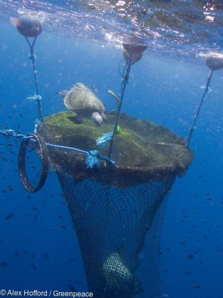 เครื่องมือล่อปลา (Fish Aggregation Devices : FADs) (PHOTO CREDIT: GREENPEACE/ ALEX HOFFORD)