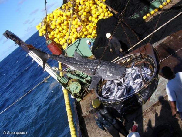 การทำประมงแบบทำลายล้างทำให้ได้ปลาพลอยได้อย่างฉลามติดขึ้นมาด้วย  (PHOTO CREDIT: GREENPEACE)