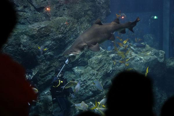 โชว์ให้อาหารฉลาม