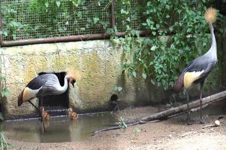 สวนสัตว์เชียงใหม่ได้ลูกนกกระเรียนหงอนพู่เกิดใหม่ 2 ตัวครั้งที่สองในรอบปี
