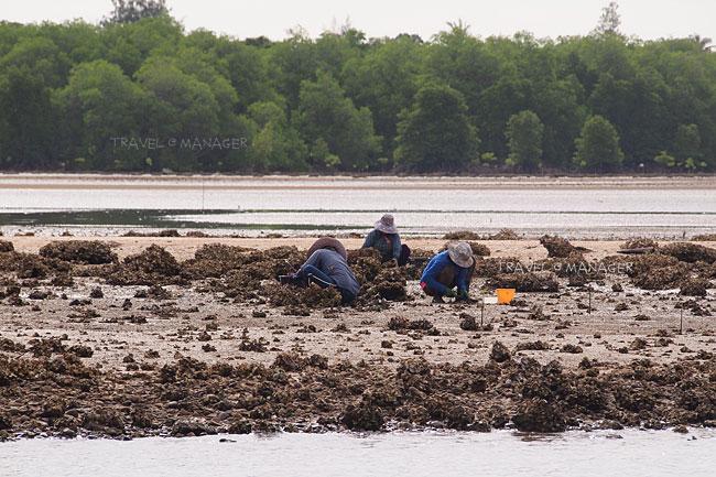 ชาวประมงออกหาหอยตามริมหาด