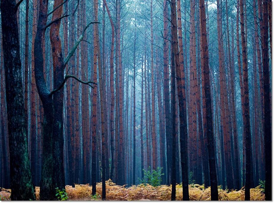 ป่าสนในช่วงเช้าของฤดูใบไม้ร่วงยุโรป ที่มีฝนตกและแสงแดดรำไรใกล้กับ ฟูเออร์สเตนฟาล์ด( Fuerstenwalde)  ทางตะวันออกของเยอรมัน