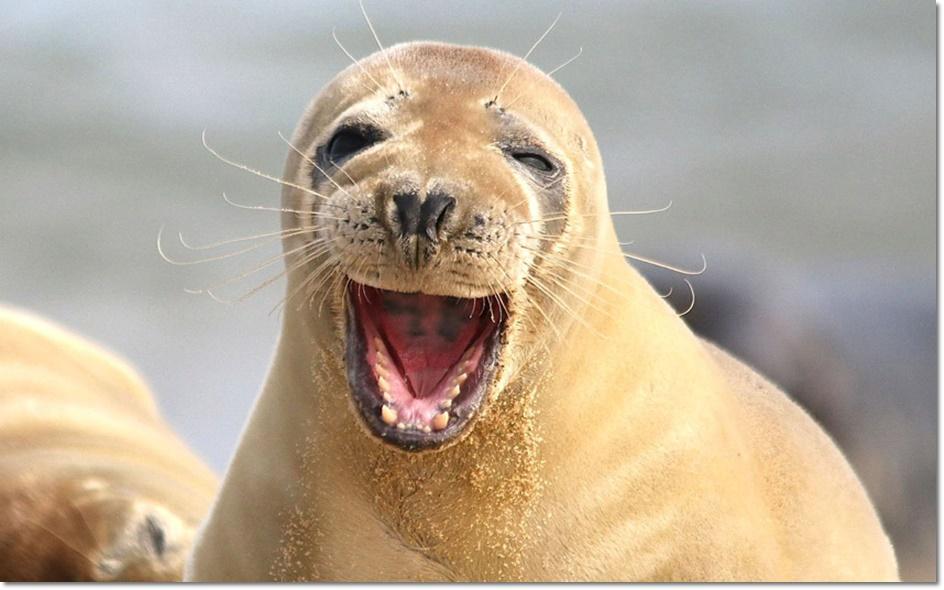 แมวน้ำหน้าเป็นบนหาดฮอร์ซี( Horsey) ในนอร์ฟอล์ก อังกฤษ