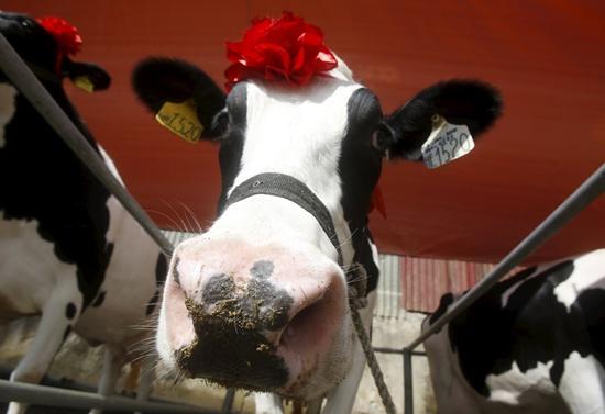 Miss Milk Cow