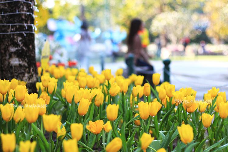 ดอกทิวลิปงาม ไฮไลต์งานเทศกาลเชียงรายดอกไม้งาม