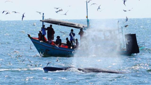 นักวิชาการชี้การท่องเที่ยวชมวาฬบรูด้าในอ่าวไทยเป็นดาบสองคม