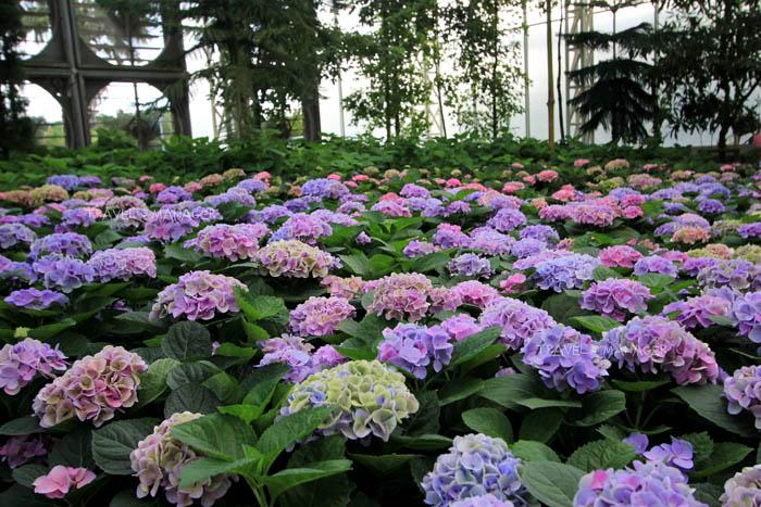 ดอกไฮเดรนเยียสายพันธุ์ฮอลแลนด์