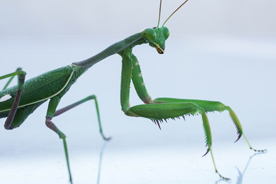 Netanya, ISRAEL: A Mantis Religiosa, most commonly known as a Praying Mantis, is pictured on a table in the Israeli Mediterranean coastal city of Netanya on November 12, 2015. AFP PHOTO/Jack Guez