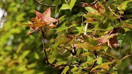 """""""เมเปิล"""" สวนป่าบ้านวัดจันทร์เปลี่ยนสีแล้วเร็วกว่าทุกปี-พร้อมรับคนเที่ยวท้าลมหนาว(ชมคลิป)"""
