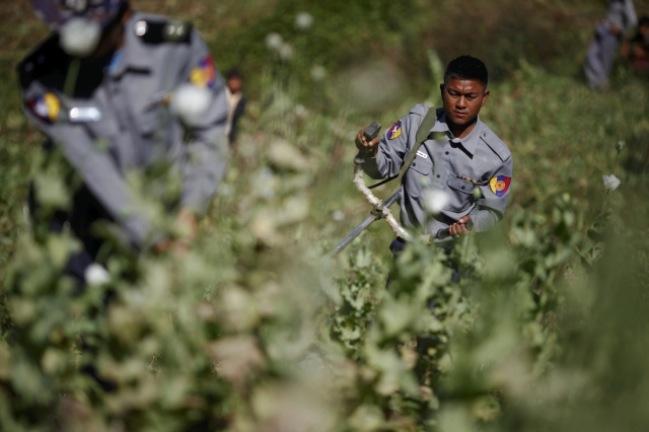 <br><FONT color=#000033>ภาพแฟ้มรอยเตอร์เดือนม.ค. 2555 เผยให้เห็นเจ้าหน้าที่ตำรวจกำจัดไร่ฝิ่น ที่ปลูกขึ้นในหมู่บ้านแห่งหนึ่งบนพื้นที่ภูเขาสูงของรัฐชาน พม่าดำเนินการรณรงค์ปราบปรามยาเสพติดเชิงรุกตั้งแต่ปี 2555 แต่เจ้าหน้าที่จากสหประชาชาติระบุว่า แม้อัตราการผลิตฝิ่นในปีนี้ จะทรงตัวมาเป็นปีที่ 3 แต่ก็ยังถือเป็นปัญหาใหญ่ที่รัฐบาลพม่าจะต้องแก้ไข. -- Reuters/Damir Sagolj.</font></b>