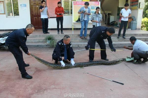 เจ้าหน้าที่กำลังวัดความยาวพญางู  (ภาพสื่อจีน ซีทีวี)