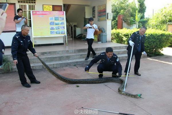 งูตัวหนึ่งวัดความยาวได้ 4 เมตร หนัก 31 กิโลกรัม คาดว่ามีอายุมากกว่าร้อยปี  (ภาพสื่อจีน ซีทีวี)