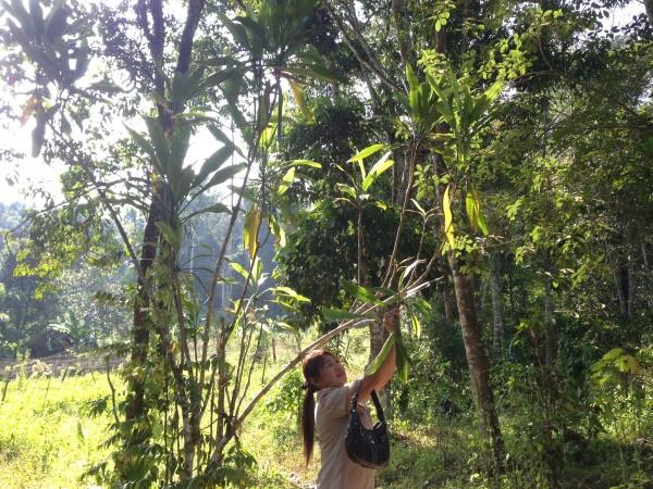 ต้นเมี่ยง เป็นพืชเศรษฐกิจอย่างหนึ่งที่สร้างรายได้งามให้กับชาวบ้าน