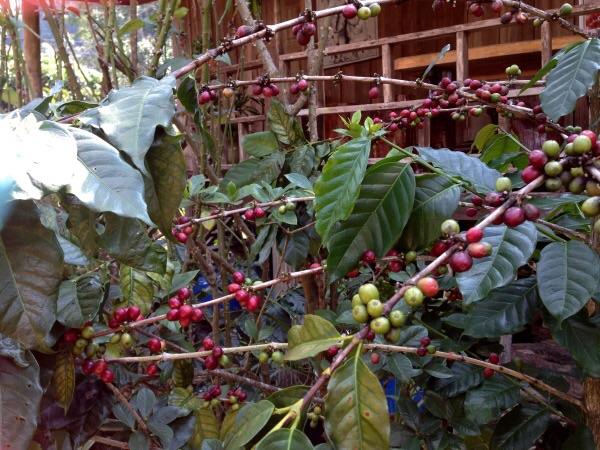 กาแฟพันธุ์ดีที่ชาวบ้านปลูกไว้ในพื้นที่เกษตรผสมผสาน