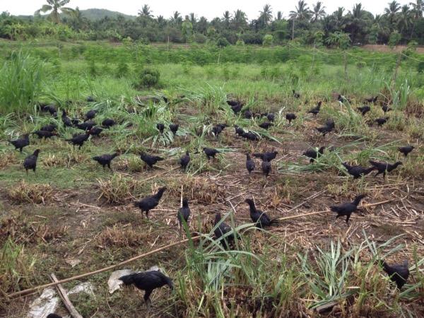ไก่พันธุ์ประดู่หางดำเชียงใหม่ถูกเลี้ยงแบบเปิดในไร่ของนายนิติ