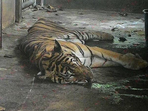 เผยผลตรวจซากเสือโคร่งสวนสัตว์ทุ่งท่าลาดพบป่วยหนัก เบื้องต้นสั่งเผาทำลายแล้ว