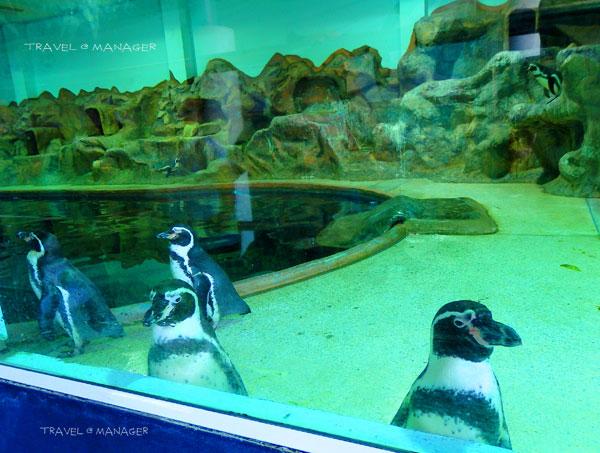 """""""นกเพนกวินฮัมโบลด์"""" น่ารักๆ"""