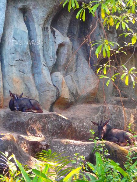 """""""เลียงผา"""" หนึ่งในสัตว์ป่าสงวนของไทย"""