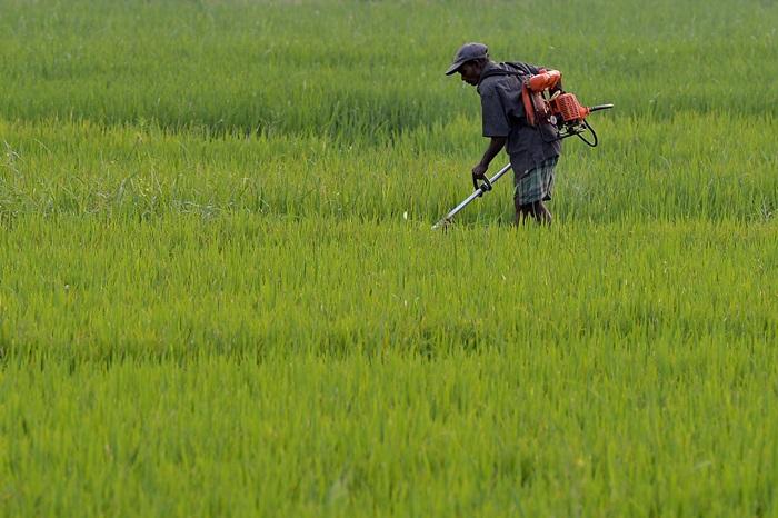 เกษตรกกรชาวศรีลังกาในไร่ที่ชายแดนโคลอมโบ (AFP PHOTO / LAKRUWAN WANNIARACHCHI )