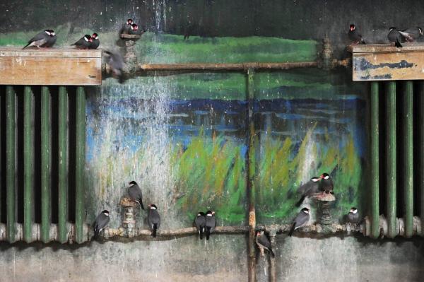 ฝูงนกเร่ร่อนเกาะกลุ่มบนเครื่องทำความร้อนภายในสวนสัตว์กรุงปักกิ่ง (22 ม.ค. 2559/ ภาพ รอยเตอร์ส)